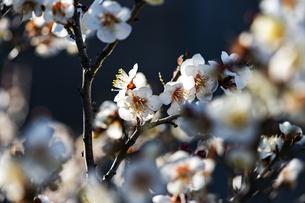 国営平城宮跡歴史公園東院庭園 白梅の写真素材 [FYI04795271]