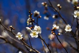 国営平城宮跡歴史公園東院庭園 白梅の写真素材 [FYI04795272]