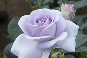 紫のバラの花の写真素材 [FYI04795428]