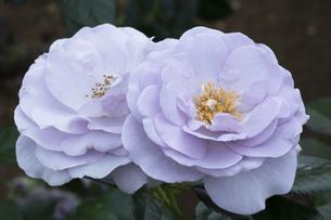 紫のバラの花の写真素材 [FYI04795430]