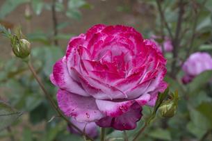 紫のバラの花の写真素材 [FYI04795434]
