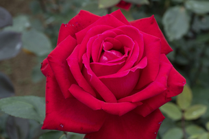 赤いバラの花の写真素材 [FYI04795435]