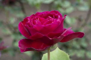 赤いバラの花の写真素材 [FYI04795441]