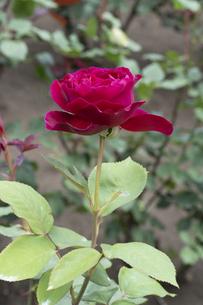 赤いバラの花の写真素材 [FYI04795442]