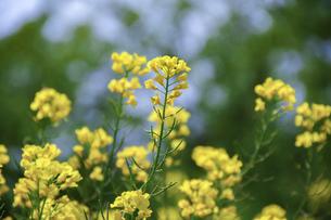 菜の花畑の写真素材 [FYI04795519]