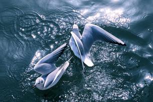 水浴びする2羽のカモメの写真素材 [FYI04795543]