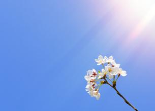 春の陽光と桜の花の写真素材 [FYI04795554]