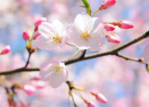 国立劇場の桜の花の写真素材 [FYI04795555]