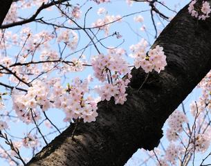 上野公園不忍池のサクラの花の写真素材 [FYI04795556]