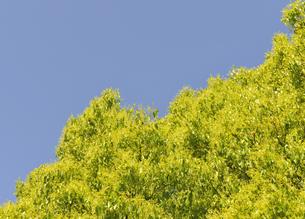 楠木の芽吹きの写真素材 [FYI04795560]