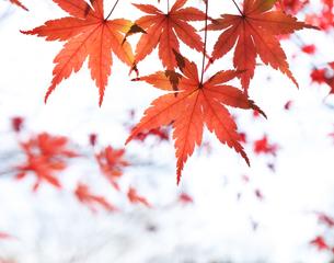 もみじの紅葉の写真素材 [FYI04795571]