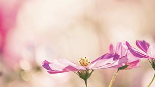 【秋】ピンク色のコスモスの花が花畑で咲いている様子 自然風景の写真素材 [FYI04795684]