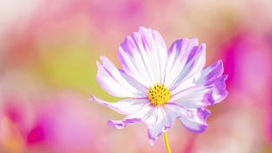 【秋】ピンク色のコスモスの花が花畑で咲いている様子 自然風景の写真素材 [FYI04795685]