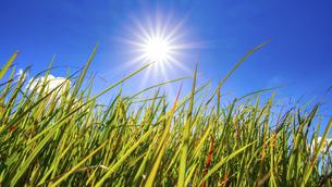 【自然風景】太陽がまぶしい草原の様子 ローアングルの写真素材 [FYI04795687]