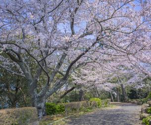 山口県 風景 桜 常盤公園の写真素材 [FYI04795693]
