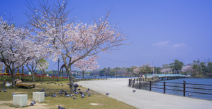 山口県 風景 桜 常盤公園の写真素材 [FYI04795698]