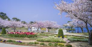 山口県 風景 桜 常盤公園の写真素材 [FYI04795702]