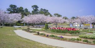 山口県 風景 桜 常盤公園の写真素材 [FYI04795704]