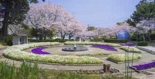 山口県 風景 桜 常盤公園の写真素材 [FYI04795706]