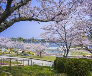 山口県 風景 桜 常盤公園の写真素材 [FYI04795707]