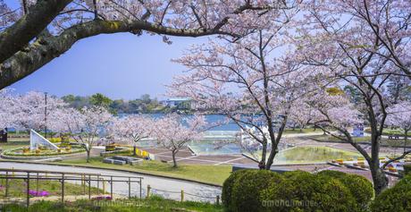 山口県 風景 桜 常盤公園の写真素材 [FYI04795708]
