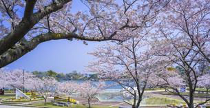 山口県 風景 桜 常盤公園の写真素材 [FYI04795709]
