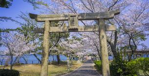 山口県 風景 桜 常盤公園の写真素材 [FYI04795718]
