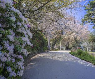 山口県 風景 桜 常盤公園の写真素材 [FYI04795725]