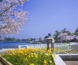 山口県 風景 桜 常盤公園の写真素材 [FYI04795727]
