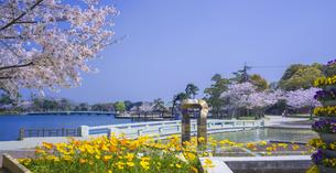 山口県 風景 桜 常盤公園の写真素材 [FYI04795728]