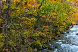 奥入瀬渓流の紅葉の写真素材 [FYI04795851]
