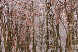 八甲田山麓の雪と紅葉の写真素材 [FYI04795855]