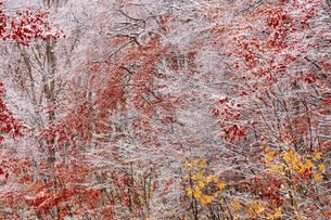 八甲田山麓の雪と紅葉の写真素材 [FYI04795856]