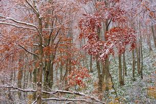 八甲田山麓の雪と紅葉の写真素材 [FYI04795857]