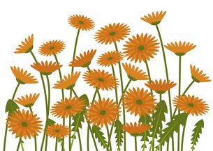 オレンジのガーベラ畑 イラストのイラスト素材 [FYI04795935]
