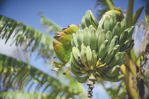 南国の暑い日光と青い空とたくさんの実をつけたバナナの木の写真素材 [FYI04795945]