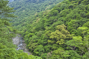 照葉樹林の森の写真素材 [FYI04795956]
