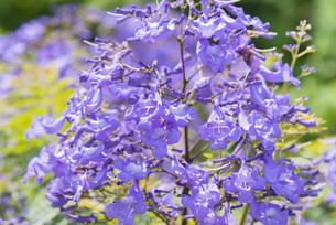 ジャカランダの花の写真素材 [FYI04795965]