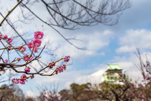 大阪城と梅の花の写真素材 [FYI04796163]