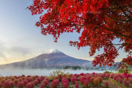 山梨県 夜明けの富士山と紅葉とコキアの写真素材 [FYI04796172]