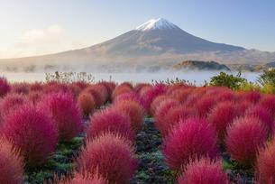 山梨県 紅葉するコキアと富士山の写真素材 [FYI04796174]