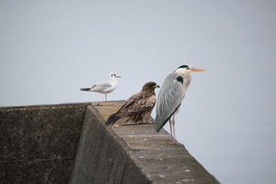 琵琶湖の防波堤にとまる野鳥の写真素材 [FYI04796192]