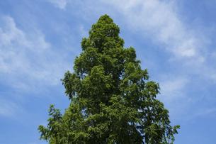 新緑のメタセコイアの写真素材 [FYI04796524]