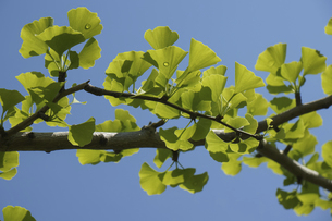 いちょうの新緑の写真素材 [FYI04796527]