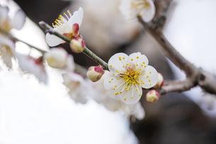 梅の花の写真素材 [FYI04796581]