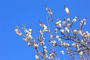 青空を背景に咲く白梅の写真素材 [FYI04796686]