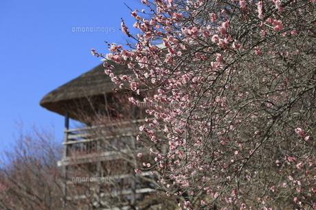 筑波山梅林、青空を背景に咲く梅の花の写真素材 [FYI04796695]