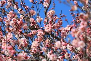 青空を背景に咲く沢山の梅の花の写真素材 [FYI04796700]