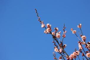 青空を背景に咲く梅の花の写真素材 [FYI04796701]