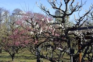 大阪城梅林,梅の花と大阪ビジネスパークの写真素材 [FYI04797033]